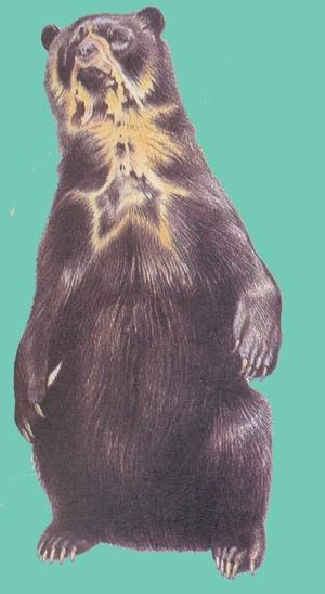 Очковый медведь - единственный представитель медвежьих в Южной Америке.